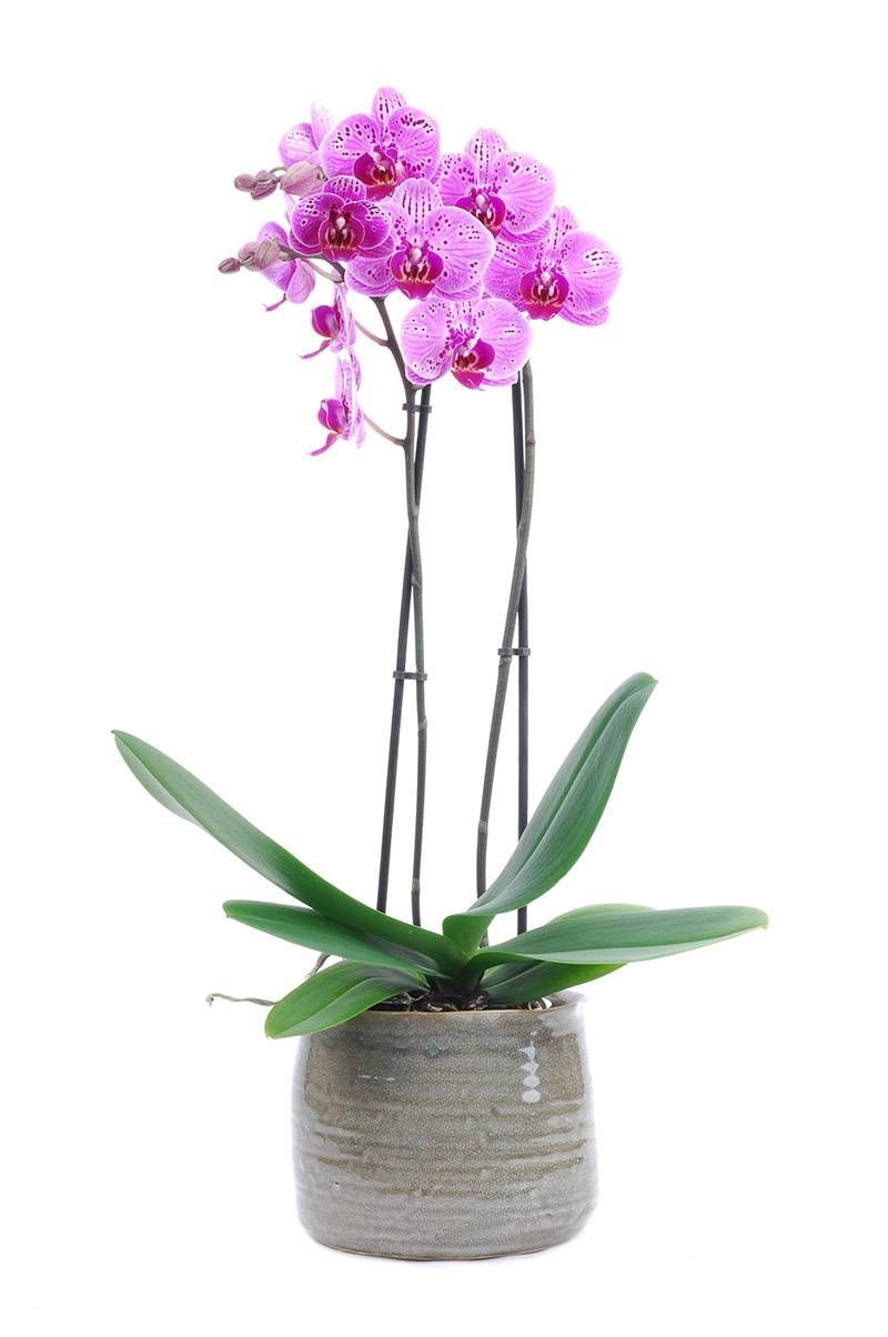 roze phalaenopsis orchidee in pot online bestellen bloemen francois van gurp. Black Bedroom Furniture Sets. Home Design Ideas
